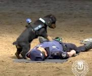 Poncho, il cane che pratica l'RCP