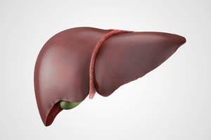 Il fegato: Ghiandola extramurale anficrina