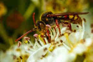 Puntura di vespa, come riconoscerla e cosa fare
